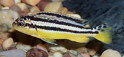 Melanochromis auratus (Golden Mbuna) — Seriously Fish