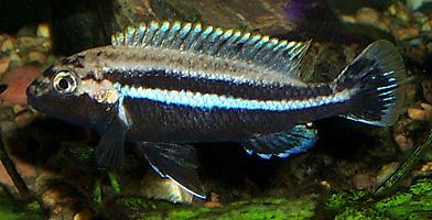 Golden Mbuna (Melanochromis auratus) | Tropical Fish Keeping