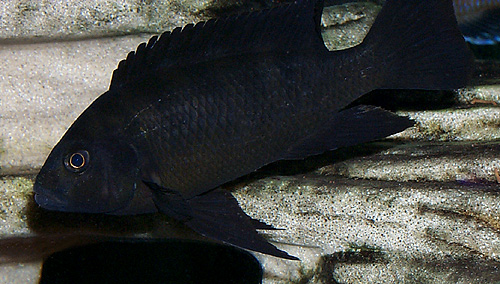 Cichlid Behavior