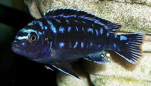 Chisumulu Johanni Electric Blue Johanni Cichlid