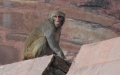 Agra690_AgraFort_MonkeysEtc
