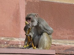 Agra693_AgraFort_MonkeysEtc