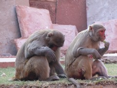 Agra708_AgraFort_MonkeysEtc