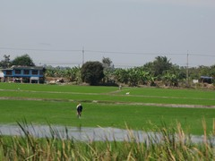 Ayutthaya140_RiceFields