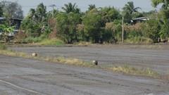 Ayutthaya145_RiceFields