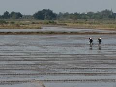 Ayutthaya203_RiceFields