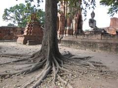 Ayutthaya445_WatMahathat_BuddhaTree