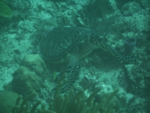 TurtleDive05