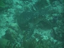 TurtleDive05