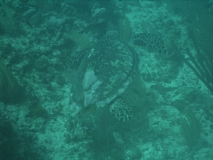 TurtleDive07