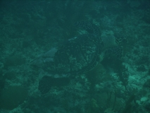 TurtleDive09