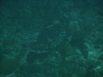 TurtleDive09