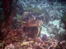 TurtleDive10