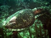 TurtleDive13