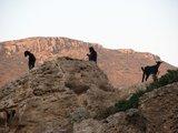 Crete0259_Falasarna_Goats