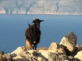 Crete2318_GoatsAndCats_Mpalos_Taverna