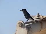 Israel0869_Masada_Birds
