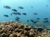 Similan523_CoralGardenDive