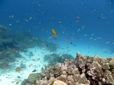 Similan526_CoralGardenDive