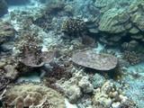 Similan531_CoralGardenDive