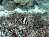 Similan533_CoralGardenDive