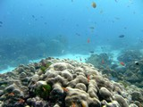 Similan545_CoralGardenDive