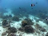 Similan557_CoralGardenDive