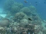 Similan564_CoralGardenDive