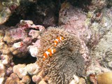 Similan571_CoralGardenDive