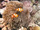 Similan574_CoralGardenDive