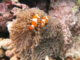 Similan575_CoralGardenDive