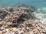 Similan588_CoralGardenDive