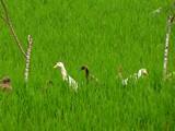 Ubud0017_RiceFields_AyungRiver