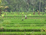 Ubud0019_RiceFields_AyungRiver