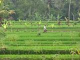 Ubud0019_RiceFields_AyungRiver