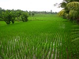 Ubud0033_RiceFields_AyungRiver