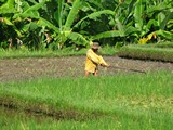 Ubud0085_RiceFields_Pertiwi