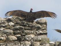 Y5807_Coba_Vultures
