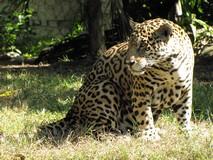 Y6849_Xcaret_JaguarTiger