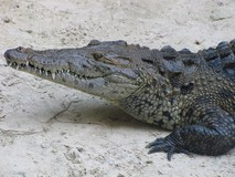 Y7135_Xcaret_CrocsTurtlesRays