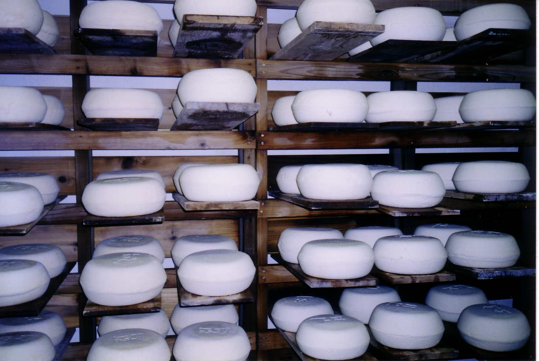 Wheels of cheese draining