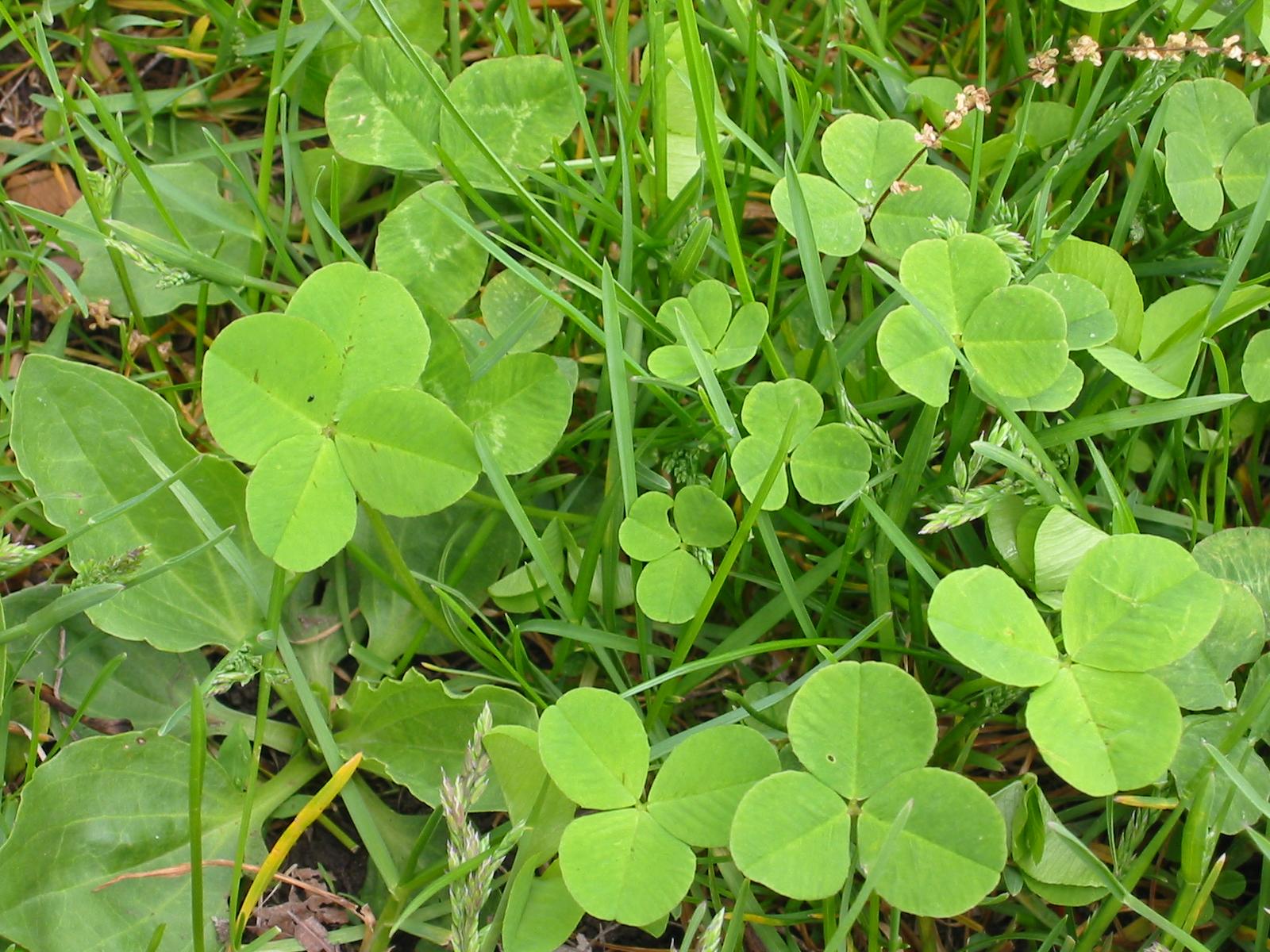 Four-Leaf Clover Photos