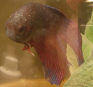 how to put a betta fish out of its misery