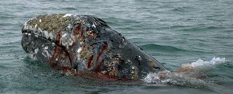 Aboriginal Subsistence Whaling and Commercial Whaling